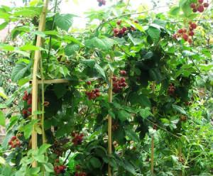 Выращивание ежевики и малины на шпалере