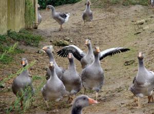 С чего начать разведение гусей?