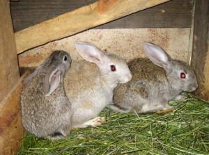 Советы по выбору и подготовке помещения для разведения кроликов на продажу