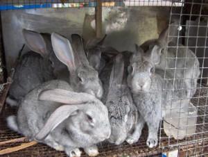 Как правильно организовать высокодоходный кроличий бизнес – пример бизнес-плана