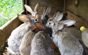 Как правильно организовать разведение кроликов начинающему предпринимателю