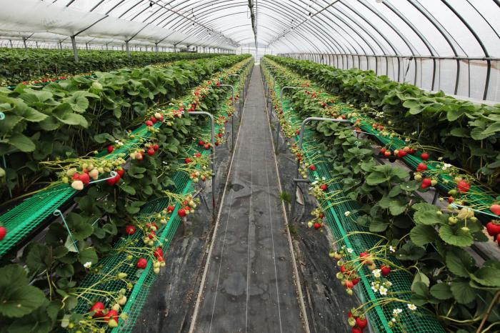 Ярусное выращивание клубники