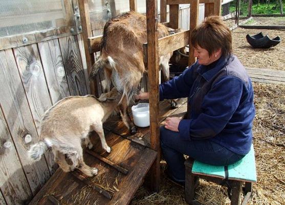 Доить козу