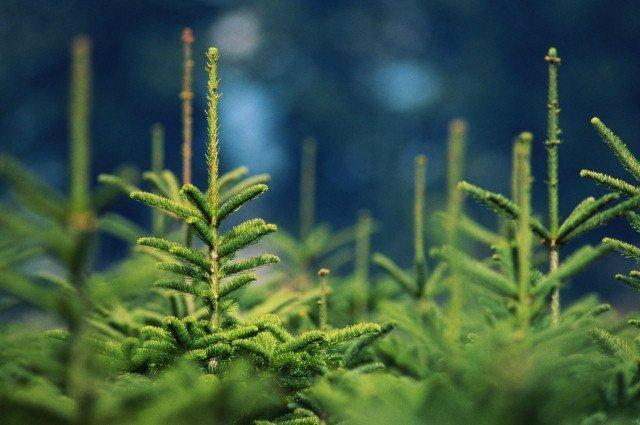 Продажа живых елок