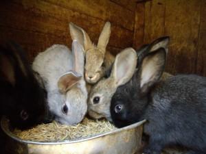 Особенности содержания и организация кормления кроликов