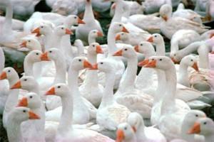 Технология выращивания и разведения гусей на мясо