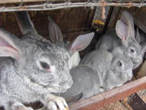 Технология и методы выращивания и разведения кроликов на продажу