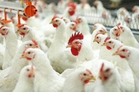 Куриное производство как откормить кур на мясо