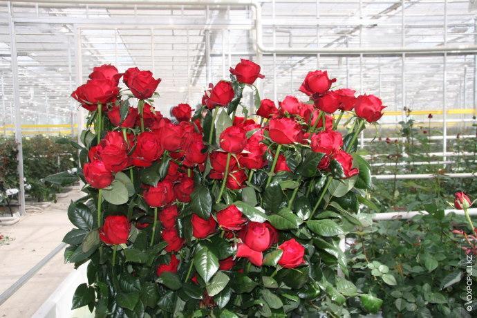 Бизнес план розы в теплице