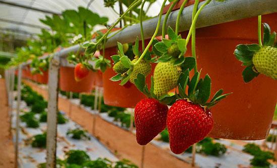 Как выращивать клубнику в промышленных масштабах