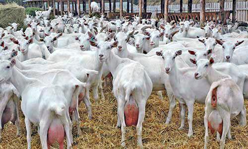 Изображение - Разведение коз как бизнес в домашних условиях razvedenie-koz