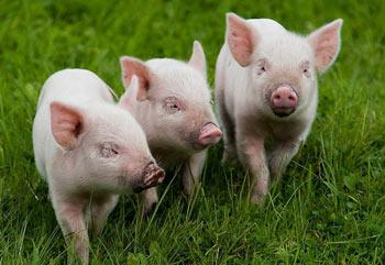 Свинки гуляют